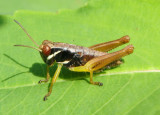 Melanoplus gracilis; Graceful Grasshopper nymph