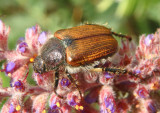 Strigoderma arbicola; Sand Chafer