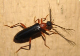 Dendroides canadensis; Fire-colored Beetle species; male
