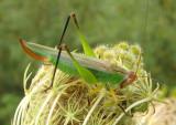 Orchelimum nigripes; Black-legged Katydid; female