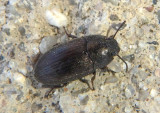 Blapstinus Darkling Beetle species