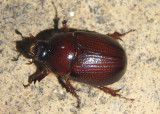 Tomarus gibbosus; Carrot Beetle species