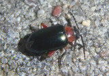 Disonycha collata; Flea Beetle species