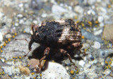 Cryptorhynchus fuscatus; Hidden Snout Weevil species