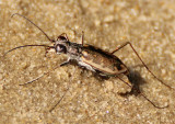 Ellipsoptera marginata; Margined Tiger Beetle