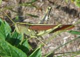 Schistocerca obscura; Obscure Bird Grasshopper
