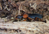 Galerita False Bombardier Beetle species