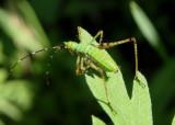 Scudderia Bush Katydid species nymph