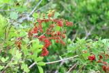 Brazilian Pepper (Schinus terebinthifolia)