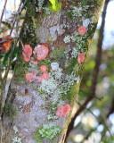 Christmas Lichen (Cryptothecia rubrocincta