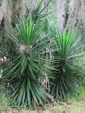 Spanish Dagger (Yucca aloifolia)