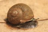 Cuban Brown Snail (Zachrysia provisoria)
