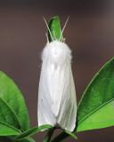 Virginian Tiger Moth, Hodges#8137 Spilosoma virginica