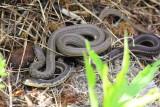Garter & Northern Brown Snake