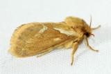 Common Swift Moth, Hodges#31.1 Korscheltellus lupulina