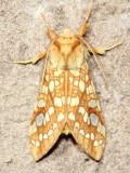 Hickory Tussock Moth, Hodges#8211 Lophocampa caryae