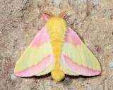 Rosy Maple Moth, Hodges#7715 Dryocampa rubicunda