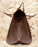 Ruby Tiger Moth, Hodges#8156 Phragmatobia fuliginosa