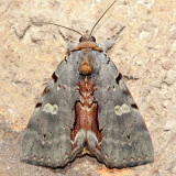 Woody Underwing, Hodges#8864 Catocala grynea