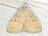 Hodges#8349 Zanclognatha protumnusalis