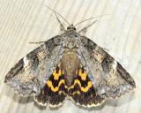 Locust Underwing, Hodges#8719 Euparthenos nubilis