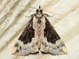Baltimore Snout, Hodges#8442 Hypena baltimoralis