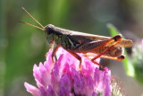 Order Orthoptera - Grasshoppers, Crickets, Katydids