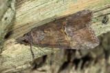 Green Cloverworm Moth, Hodges#8465 Hypena scabra