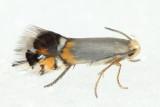 Family Heliozelidae - Shield Bearer Moths
