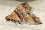 Ambiguous Moth, Hodges#8390 Lascoria ambigualis