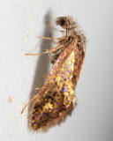 Chinquapin Leaf-miner Hodges#0004 Dyseriocrania auricyanea