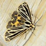 Little Virgin Tiger Moth, Hodges#8175 Apaptesis virguncula