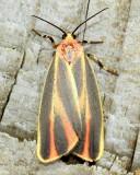 Painted Lichen Moth, Hodges#8090 Hypoprepia fucosa