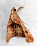 Dark-spotted Palthis, Hodges#8397 Palthis angulalis