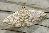 Family Crambidae - Crambid Snout Moths
