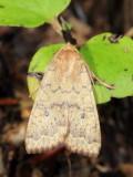 Family Noctuidae - Owlet Moths