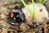 Family Coccinellidae - Lady Beetles