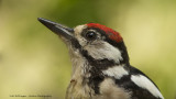 Grote Bonte Specht / Great Spotted Woodpecker