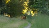 Ree / Roe Deer