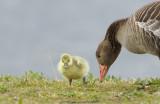 Grauwe gans / Greylag Goose