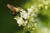 Glasvleugelpijlstaart / Broad-bordered bee hawk-moth