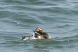 IJseend / Long-tailed duck