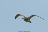 Wulp / Eurasian Curlew