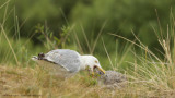 Zilvermeeuw / European Herring Gull