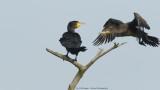 Aalscholver / Great Cormorant