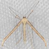 Plume Moth (Pterophoridae)