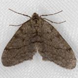 6661 Walnut Spanworm Moth (Phigalia plumogeraria)