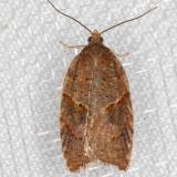 3531 (Acleris hastiana)(T)