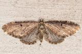 7543 Larch Pug Moth (Eupithecia annulata)