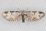 7605 (Eupithecia ravocostaliata)